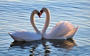 48.1 Лебеді