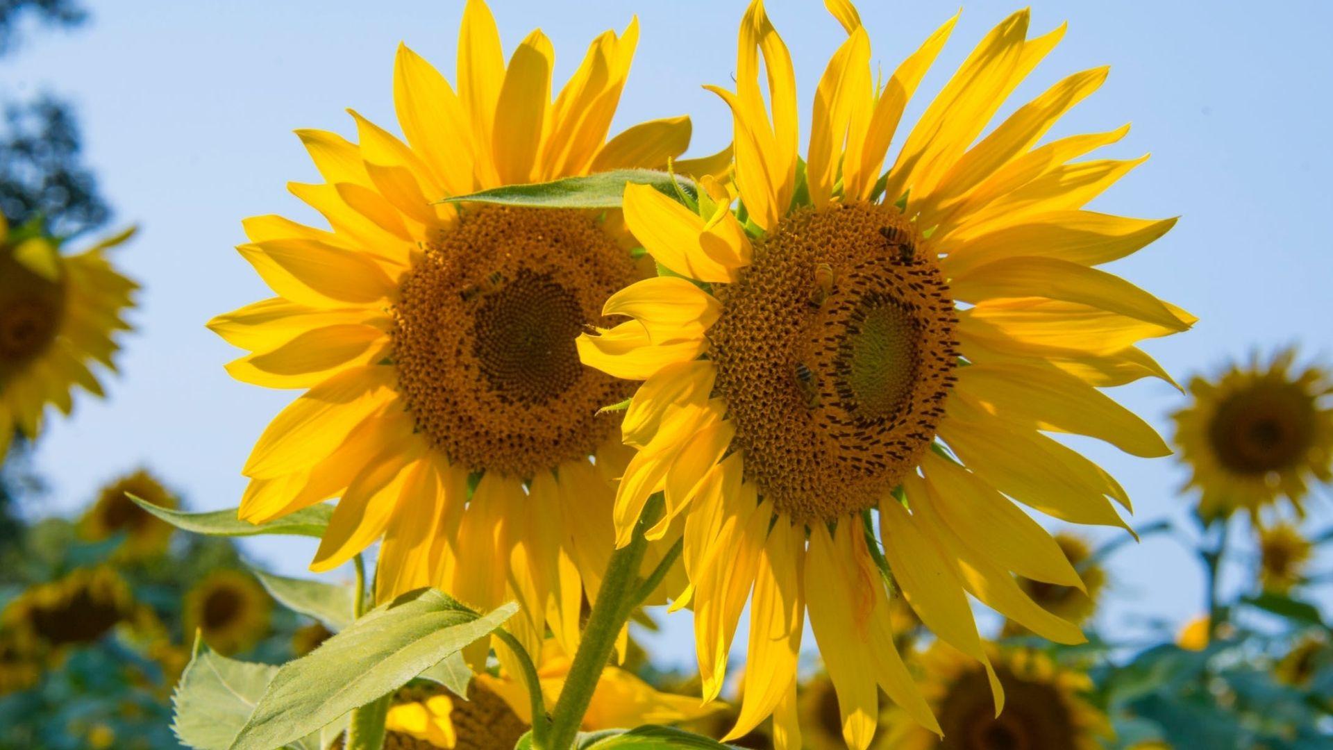 Соняшники на полі
