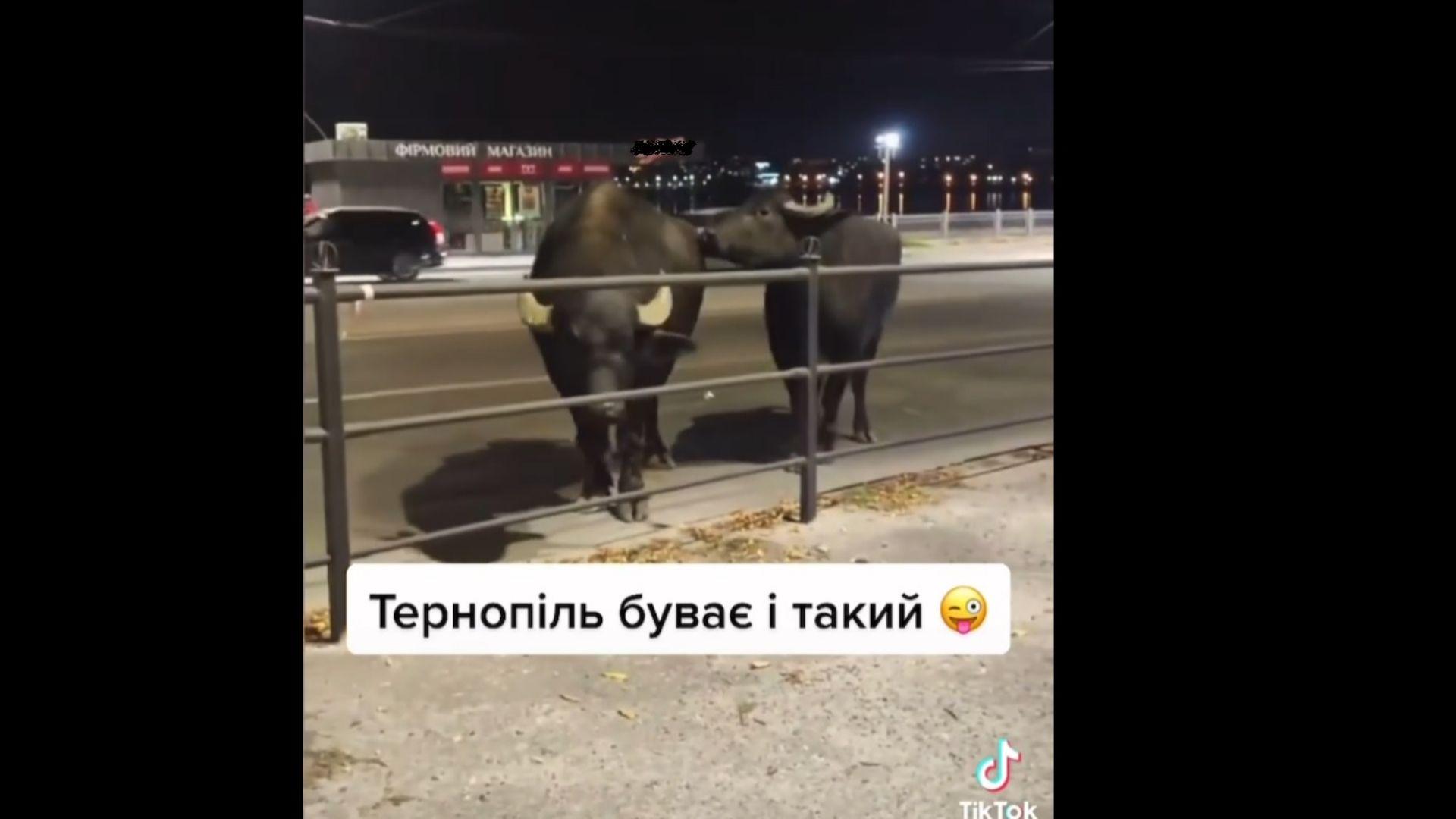 Тернополем розгулювали буйволи